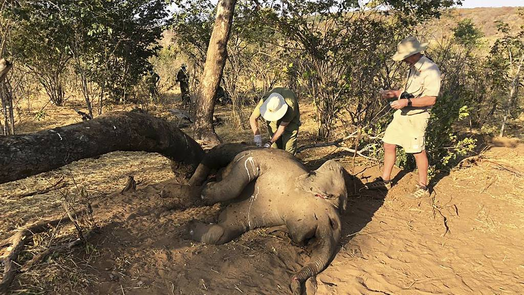 Tierärzte entnehmen einem verendeten Elefäntchen Gewebeproben. Die Ursache des massenhaften Elefantensterben in Simbabwe ist noch unklar. Es werden natürliche Toxine vermutet.
