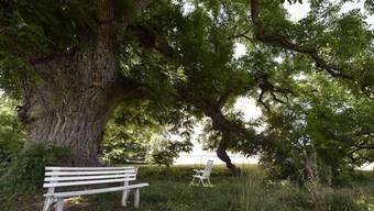 Der älteste Nussbaum der Schweiz in Meinier GE