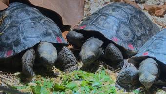 Eine Zeitlang hiess es «nicht ganz hundert», nun sind es «mehr als hundert»: Im Zoo Zürich sind neun Galapagos-Riesenschildkröten geschlüpft, darunter das 100. und das 101. Jungtier.