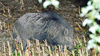 Wildschweine richten vor allem auf Wiesen grosse Schäden an, aber auch auf Weizen- und Maisfeldern sind sie aktiv. AZ Archiv/BRUNO KISSLING
