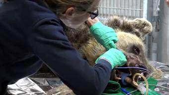 Zwei Stunden dauerte Amelias die Zahn-OP – «unter gewissen Feldbedingungen», wie Tierarzt Wolfgang Zenker sagt.