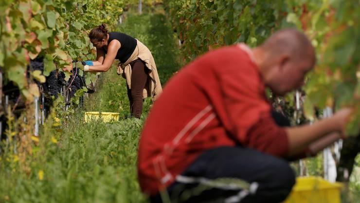 Traubenlese für den Bürgerwein der Bürgergemeinde Solothurn.