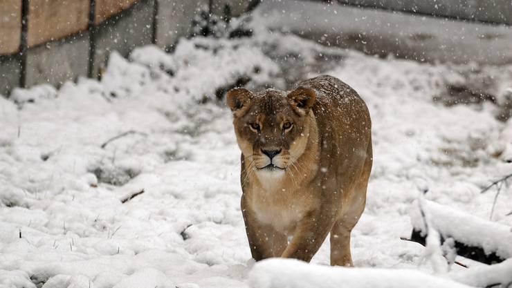 Löwin Timba im Schnee