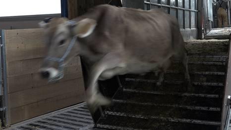 Mehrere Kühe sind im Eggfluetunnel aus einem Tiertransporter abgehauen. (Symbolbild)