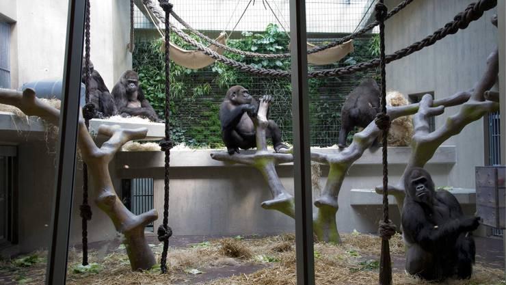 Gorillas im Zoo Basel.