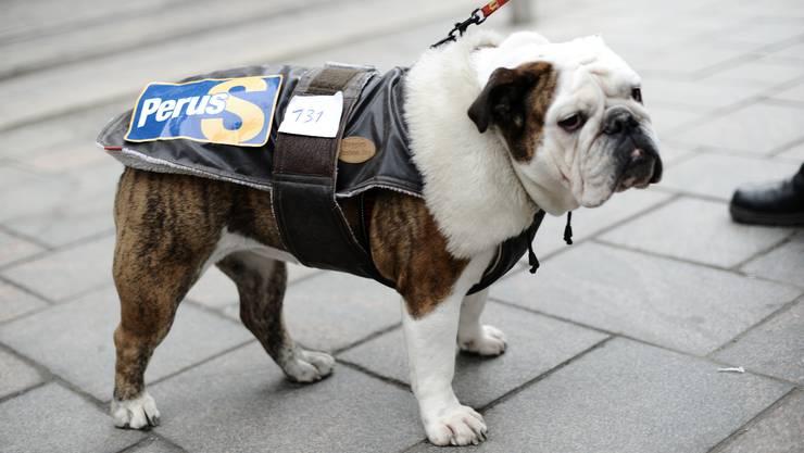 Eine Bulldogge wirbt mit einem Wahlkampagnen-Poster in Helsinki für die «Wahren Finnen». J. Nackstrand/AFP
