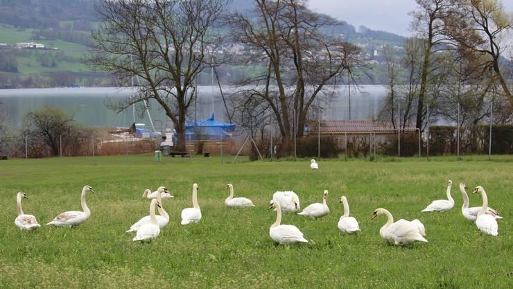 Mit solchen Invasionen, wie hier auf einer Wiese im luzernischen Aesch, verursachen Hallwilersee-Schwäne grosse Schäden. Dienststelle Landwirtschaft und Wald Luzern