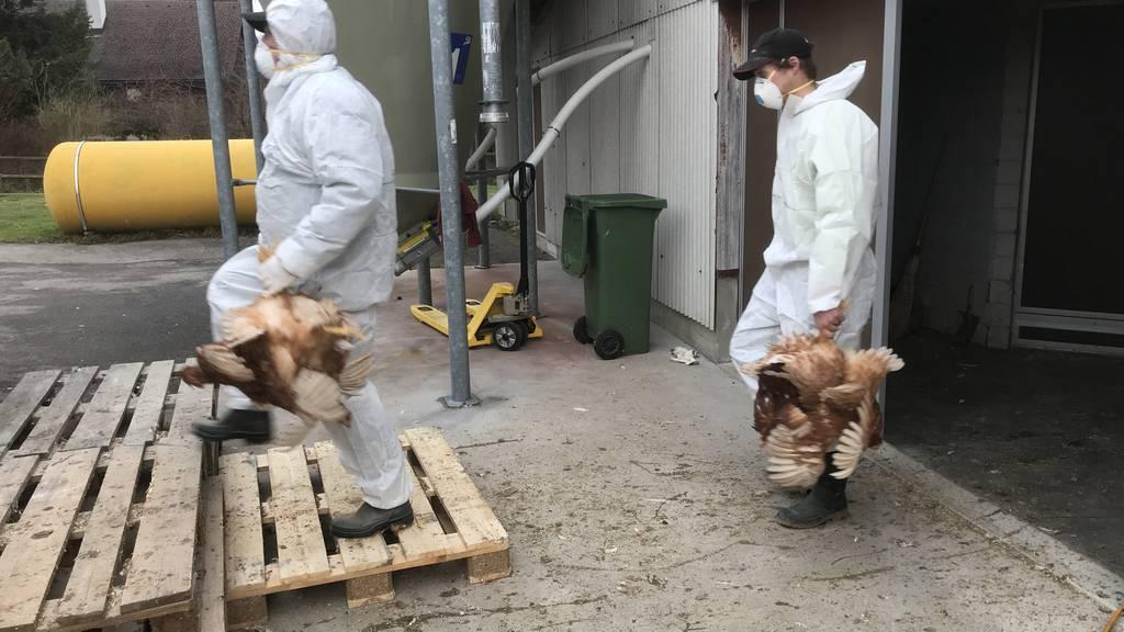 Wegen des Ausbruchs der Geflügelseuche ILT müssen 8000 Tiere getötet werden.