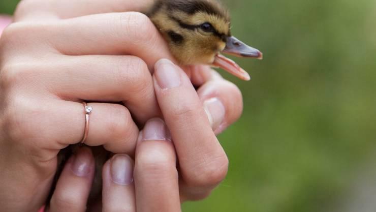 Um einen Jungvogel an einen sicheren Ort zu transportieren, darf man ihn ruhig auch mit blossen Händen anfassen. Die Eltern kümmern sich danach weiter um den Jungvogel, bis er selbstständig ist.