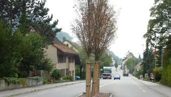 Verfrühter Herbst: Den drei Heimbuchen in der Strassenmitte in Hornussen hat das Tausalz arg zugesetzt – sie weisen seit Wochen dürres Laub auf.