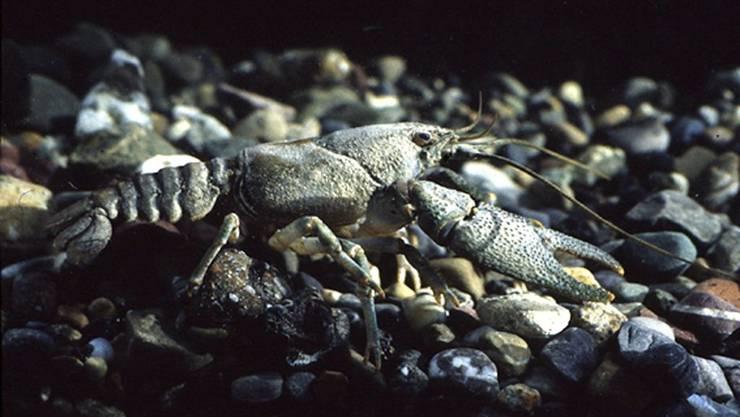 Der Steinkrebs lebt in kleineren Bächen