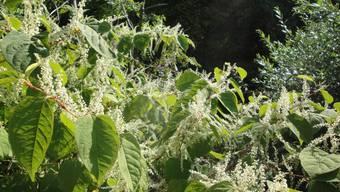Der japanische Staudenknöterich, eine invasive gebietsfremde Pflanze, breitet sich insbesondere an Gewässern rasant aus – auch in Koblenz.