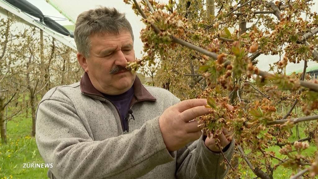Aprilfrost sorgt für grosse Ernteausfälle bei Schwyzer Kirschbauer