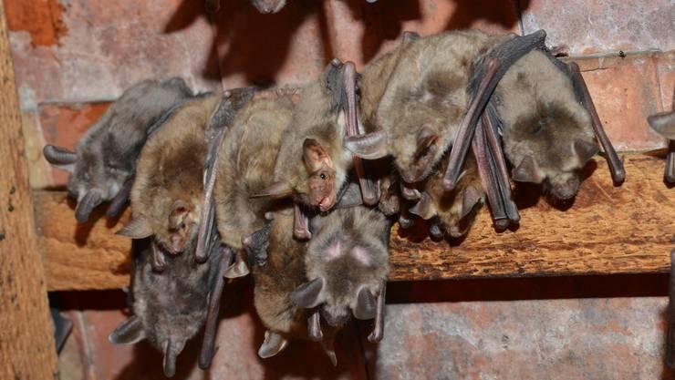 Im Juni kann in Sulz beobachtet werden, wie die Grossen Mausohren sich auf die Jagd vorbereiten. Archiv