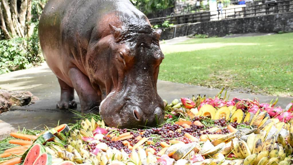 HANDOUT - Nilpferddame Mae Mali macht sich im Khao Kheow Open Zoo anlässlich ihres 55. Geburtstags über eine Torte aus Früchten und Gemüse her. Sie ist das älteste Exemplar ihrer Art in dem südostasiatischen Land und ein Besuchermagnet. Foto: -/Khao Kheow Open Zoo/dpa - ACHTUNG: Nur zur redaktionellen Verwendung im Zusammenhang mit der aktuellen Berichterstattung und nur mit vollständiger Nennung des vorstehenden Credits