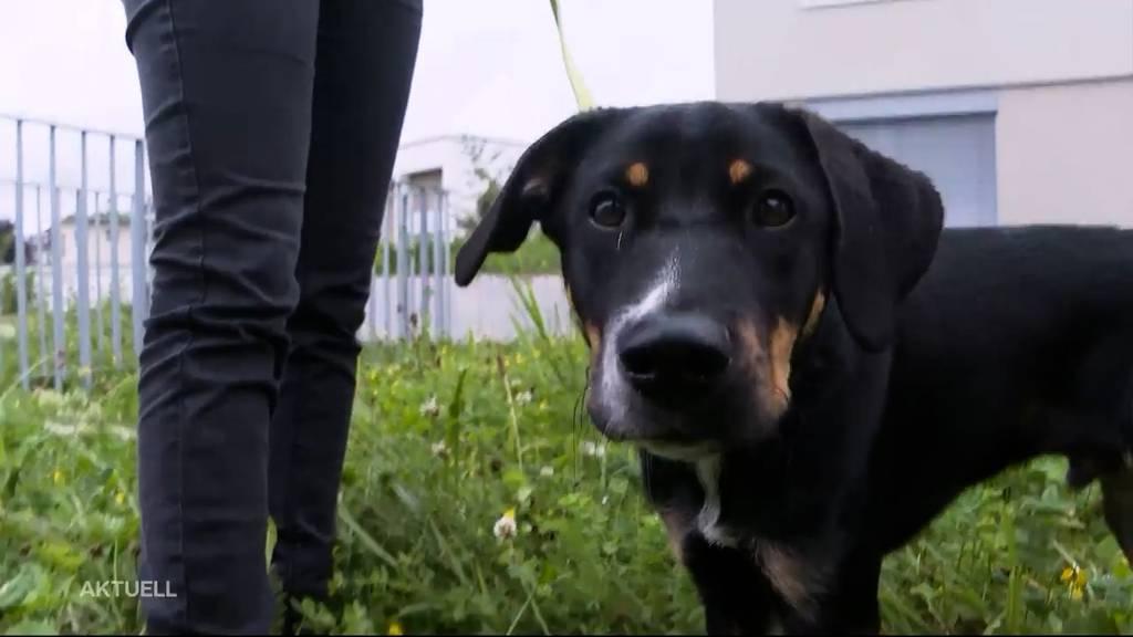 Labrador-Welpe findet in Obergösgen einen Giftköder
