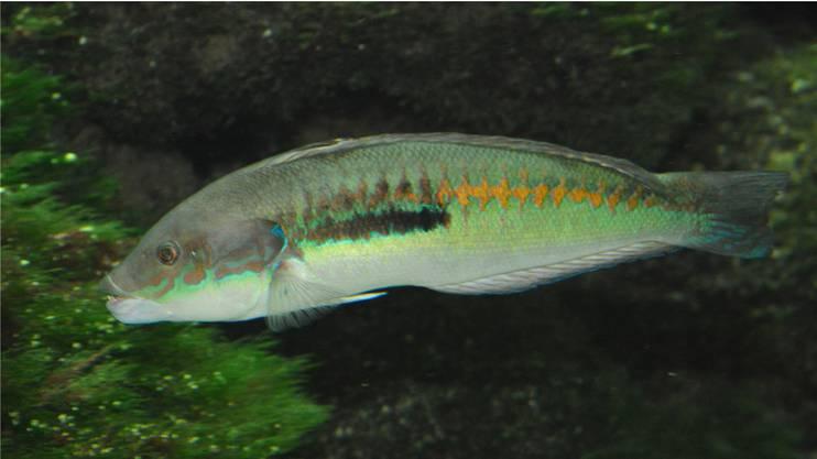 In einem Schwarm von Meerjunkern lebt immer nur ein Männchen.