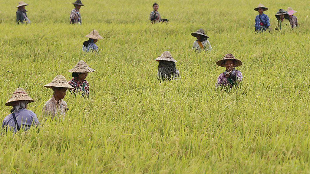 Reis-Ernte in Myanmar (Archiv)