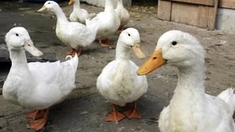 Enten in einer österreichischen Geflügelfarm (Symbolbild)