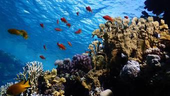 Das Rote Meer beherbergt ein einzigartiges Ökosystem. Um dies zu erforschen und zu schützen, will die ETH Lausanne ein neues Forschungszentrum gründen.