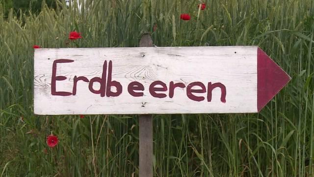 Bauern kämpfen um ihre Erdbeerfelder