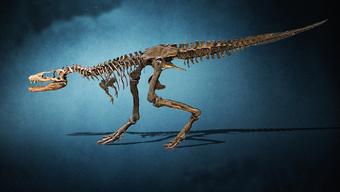 Das Skelett-Replikat eines T-Rex Babys wird das einzige sein in der Schweiz.