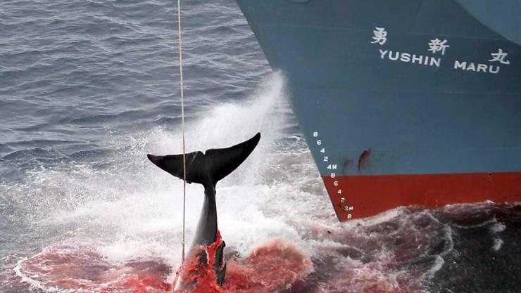 Japanischer Walfänger mit harpuniertem Wal (Archiv)