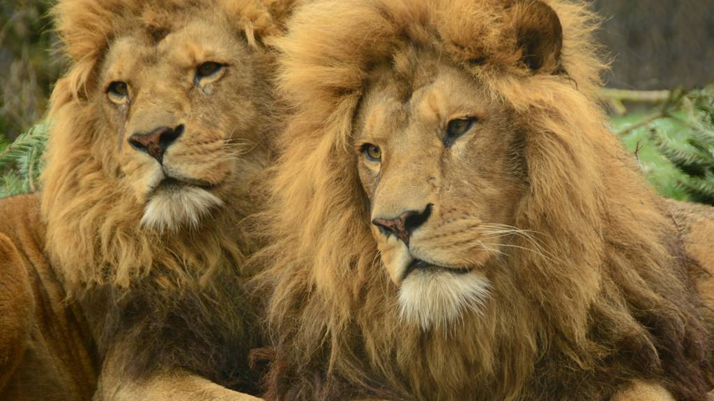 Mitte August werden drei Berberlöwen in den Walter Zoo ziehen