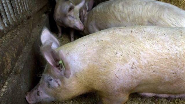 Schweine in einem Zuchtbetrieb (Symbolbild)