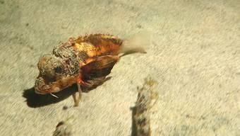 Ein Rätsel: der spazierende Fisch.