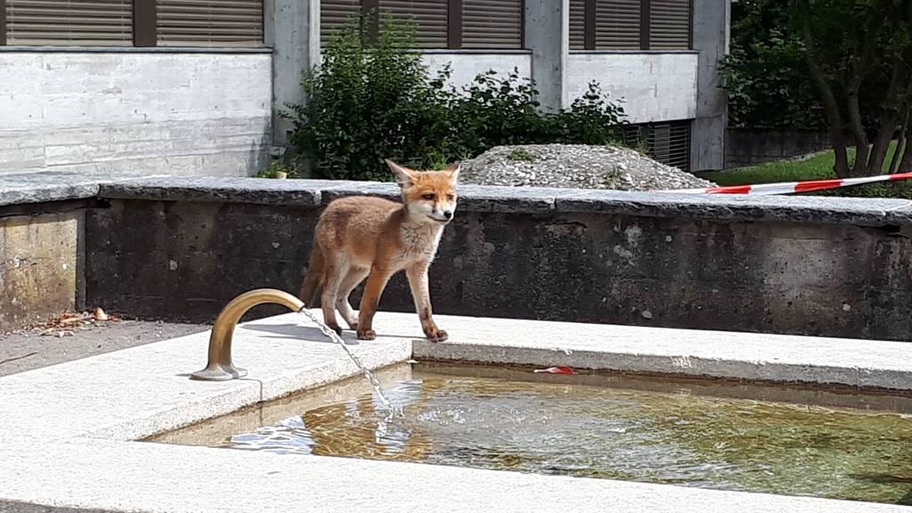 Eine Fuchsfamilie lebt seit der Coronakrise im Schulareal