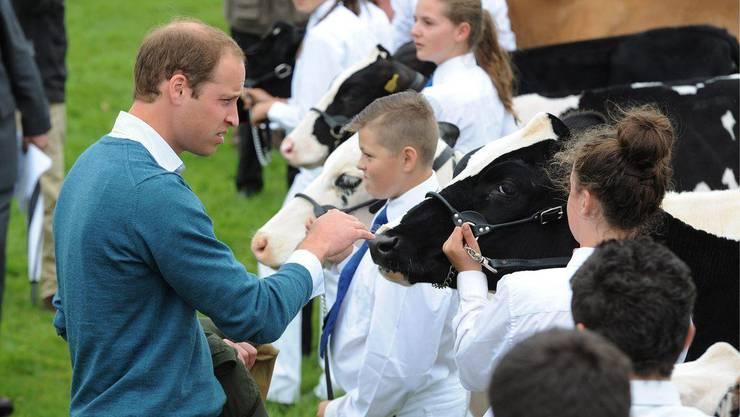 Prinz William tätschelt an der Landwirtschaftsausstellung «The Anglesey Show» in Nordwales eine Kuh. Ob es ihr bei der Bewertung im Rennen um die Schönste halft, ist nicht bekannt.