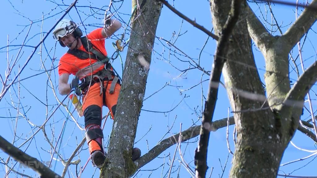 80 Bäume abgeholzt: Pilzbefall fordert grosse Rodung an Berner Aare