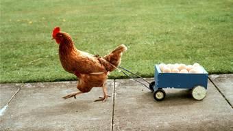Dieses Huhn bringt seine Eier gleich selbst zum Abnehmer. Ob es hier noch eine Deklarationspflicht brauchte?