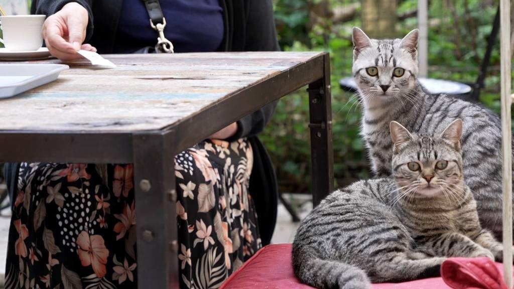 Kaffeetrinken mit fünf Katern: Das Katzencafé in Zürich