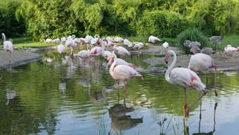 Zolli Basel: 20 rosarote Flamingoküken geschlüpft