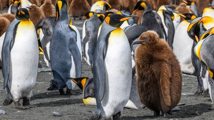 Die Insel als eines der wichtigsten Brutgebiete der Königspinguine.