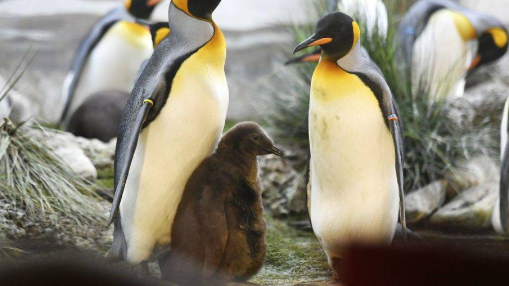 Pinguin-Familie im Zoo Zürich. Im Berliner Zoo versucht derweil ein schwules Pinguin-Pärchen, eine Regenbogenfamilie zu gründen. Die beiden Väter brüten abwechselnd das Ei einer Kollegin. (Symbolbild)