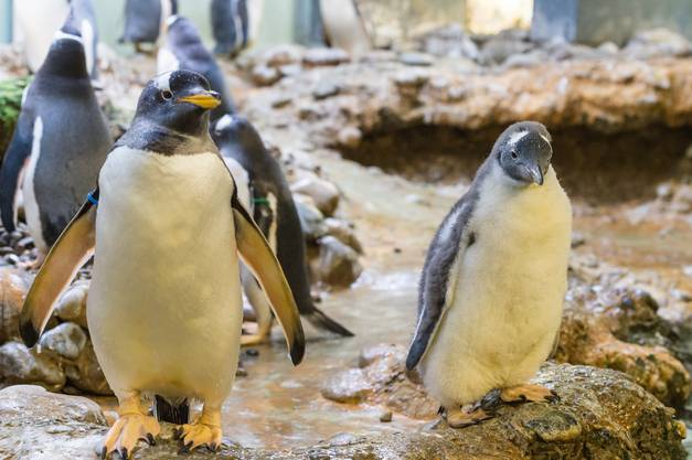 Im Basler Zolli sind derzeit jedoch gleich drei Pinguinküken zu bestaunen.
