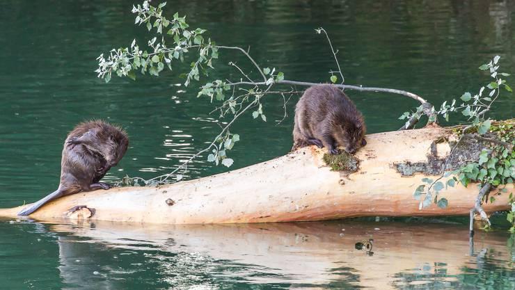 Zwei Biber im Sommer an der Aare gesichtet.