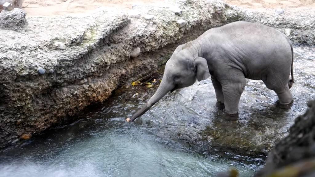 Elefant Unesh feiert seinen ersten Geburtstag ohne Besucher