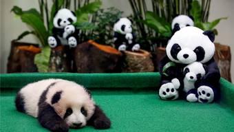 Der erste Auftritt des kleinen – noch namenlosen – Panda-Babys sorgte für Wirbel im Zoo Negara.