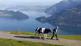 Warmer Frühling: Die Kühe gehen früher auf die Alp