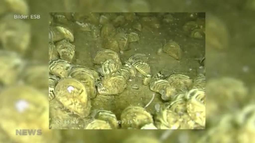 Bielersee: Quagga-Muschel breitet sich in Trinkwasserleitungen aus