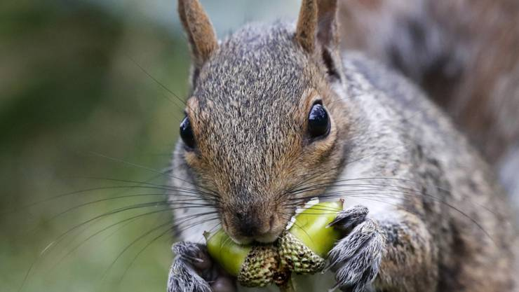 """Sind herzig, aber vom Namen her nicht ganz an der Spitze: Eichhörnchen. Deutschlernende mögen das Wort """"Gemütlichkeit"""" noch lieber. (Symbolbild)"""