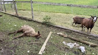 Bei einem Tierhalter in Oftringen AG wurden tote Tiere entdeckt. Die noch lebenden Tiere befanden sich in einem schlechten Zustand.