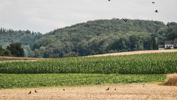 Rabenkrähen auf ihren Feldern setzen den Gemüseproduzenten arg zu.