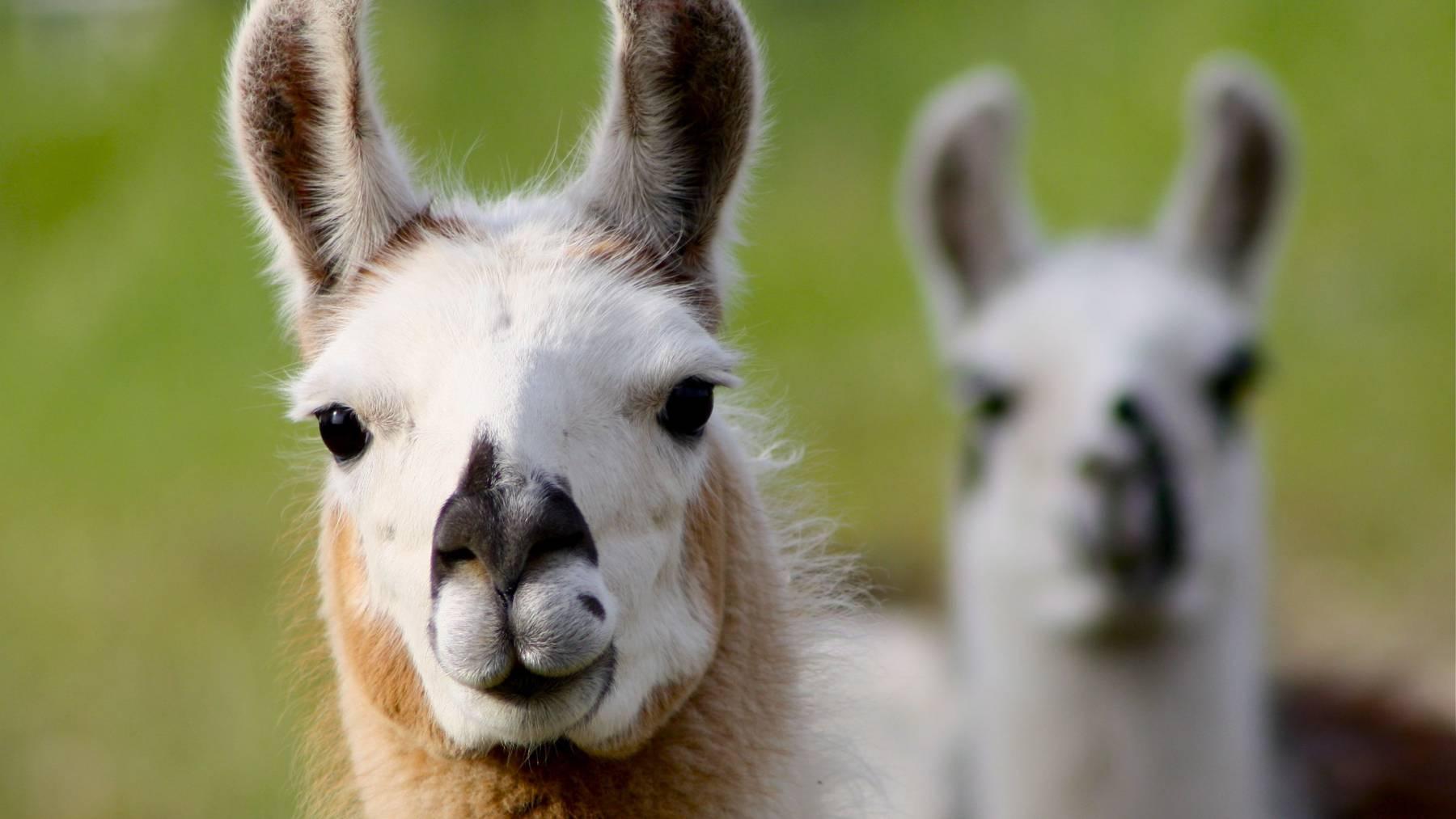 Im Tier- und Freizeitpark gibt es neben Lamas, unter anderem Esel, Ziegen und ein Wollschwein zu bestaunen. (Symbolbild)
