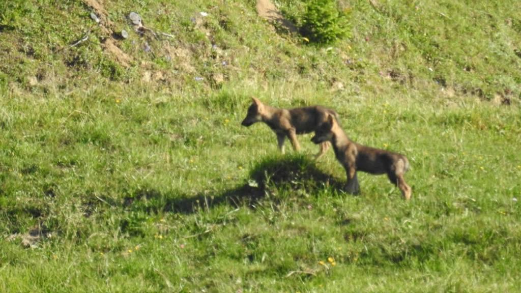 Drei Jungwölfe in Ilanz gesichtet