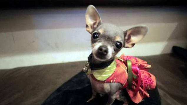 Ein Chihuahua: Die Sprache ist auf den Hund gekommen.